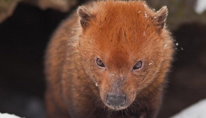 Новосибирский зоопарк потратит больше 5 миллионов на вольеры для редких зверей с перепонками на лапах