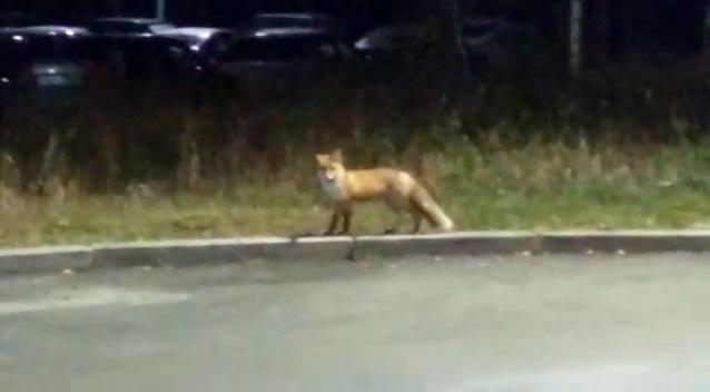 Никого не боится: в Академическом к людям из леса вышла лиса