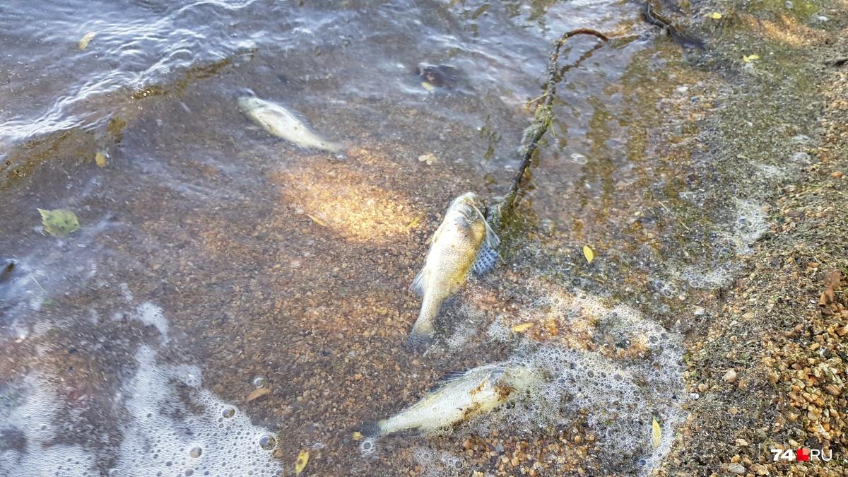 По словам читателей 74.ru, на берегу Шершней сотни дохлых рыб