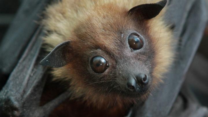 В екатеринбургском зоопарке родился крылатый лисёнок