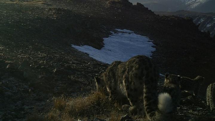 Фото: на Алтае заметили сразу трёх котят снежного барса