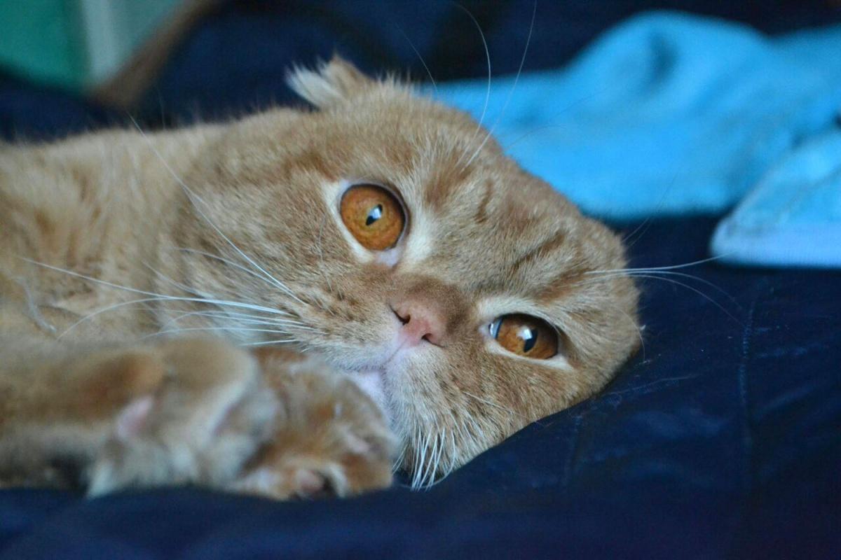 Ухаживать за вислоухими кошками омичке приходится каждый день с утра до вечера, но жизнь без питомцев девушка уже не представляет