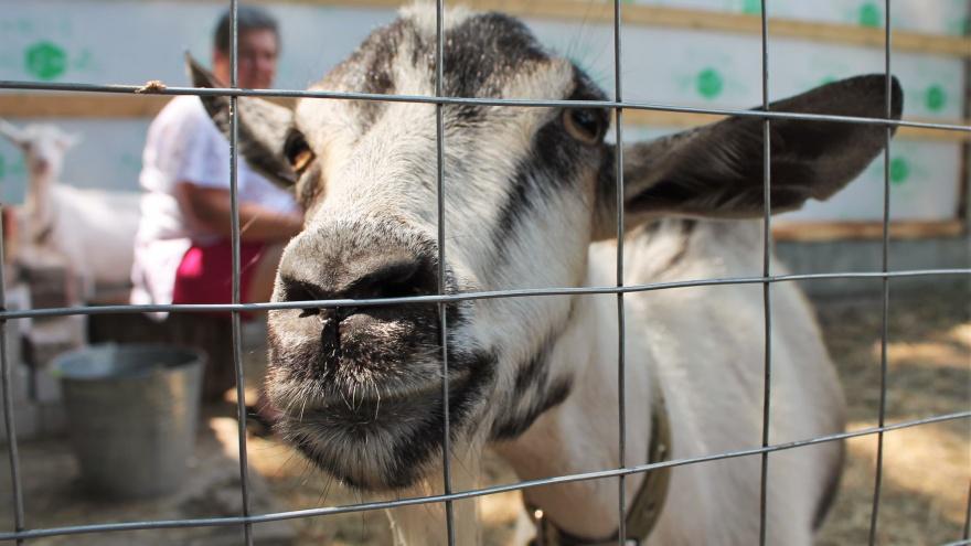 Умеет ли плакать сыр и почему кричат козы: истории волгоградцев, изменивших жизнь ради любимого дела