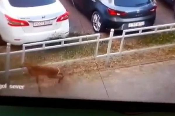 Несчастное животное в панике носится по большому городу