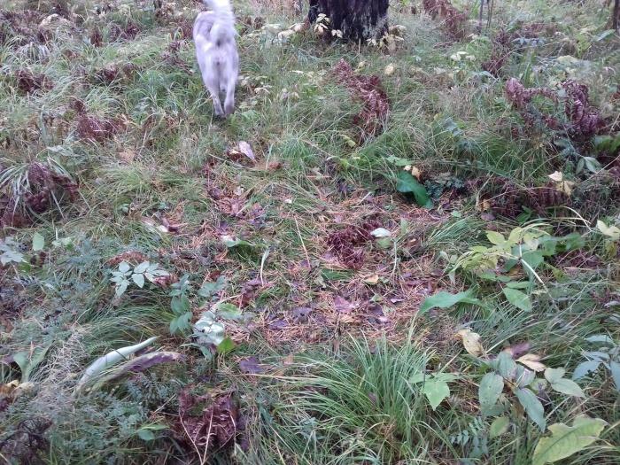 Примятая трава в лесу — предположительно, лёжка лося