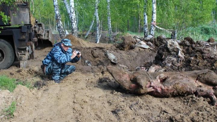 В Курганском лесничестве ветеринары обработали место свалки трупов свиней