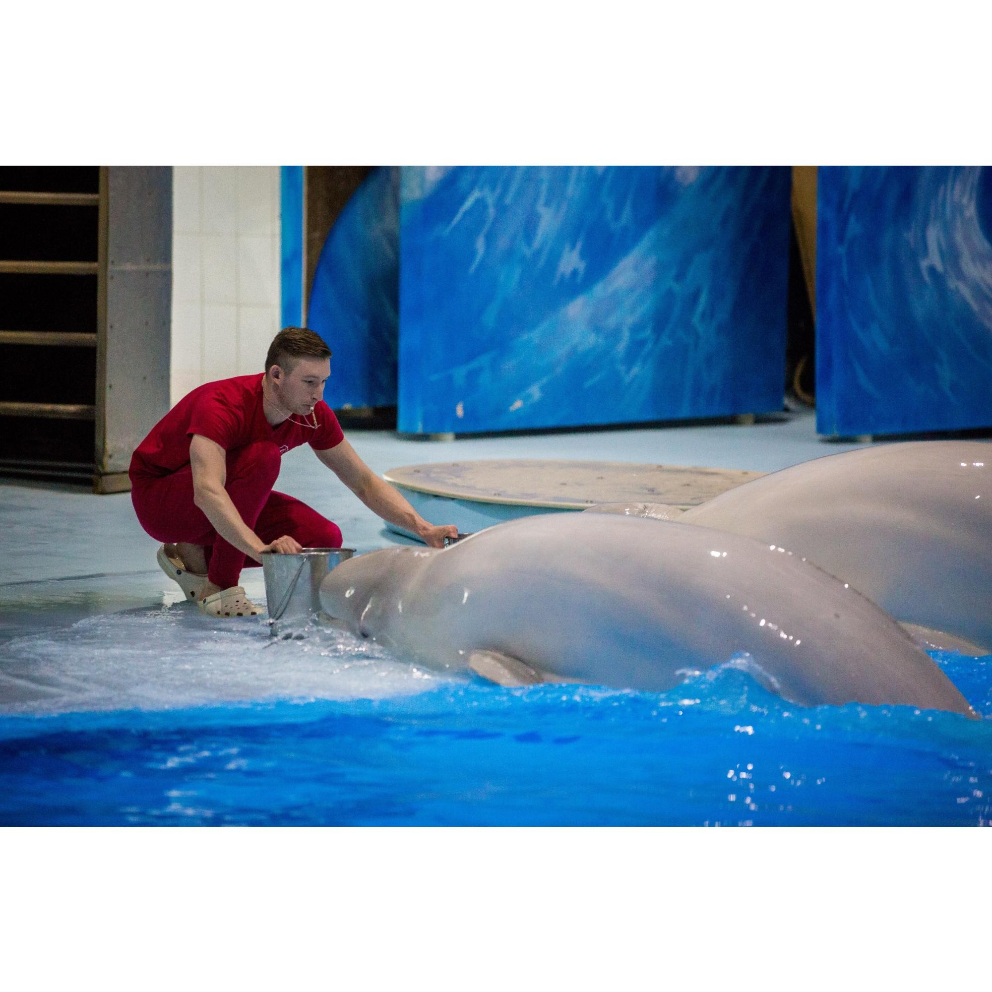 И дельфины, и белухи съедают в среднем около 16 килограммов рыбы, при этом воду они не пьют, вся влага поступает вместе с едой