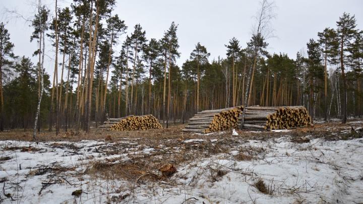 «Переживали, что упадут на детей»: в челябинском бору вырубили деревья на площади 1,3 гектара