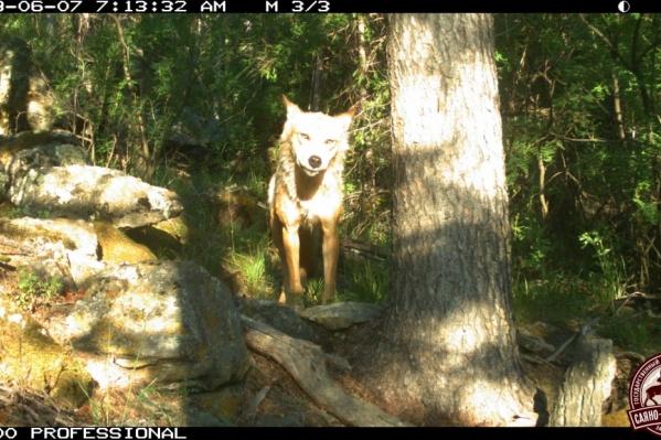 Волк прогулялся прямо перед камерой