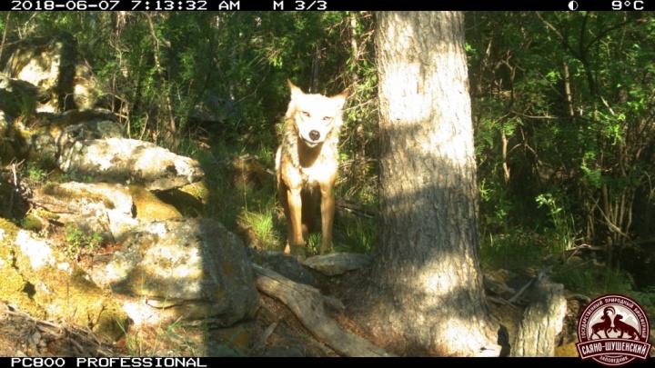 Очень скрытный волк попал в объектив фотоловушки в заповеднике