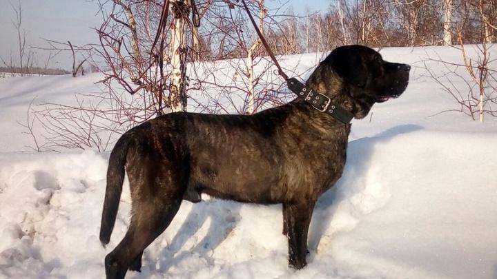 Волонтеры спасли пса редкой породы и ищут ему хозяина