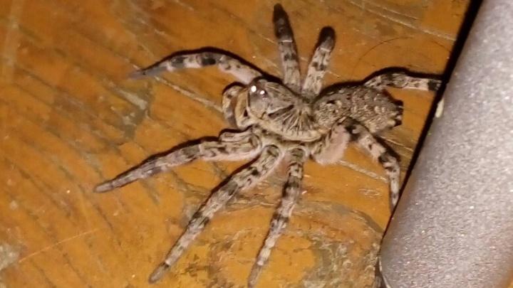 Дома жителей Башкирии захватывают тарантулы