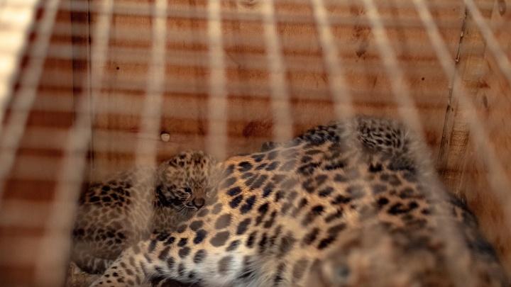 Рычащая милота: в Самарском зоопарке родились котята леопарда