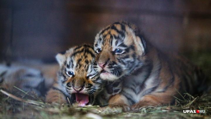 В уфимском передвижном зоопарке родились тигрята