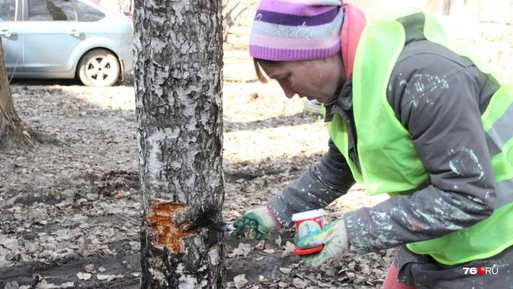 «Это всё автомобилисты»: в Брагино изуродовали около 30 деревьев в жилом дворе