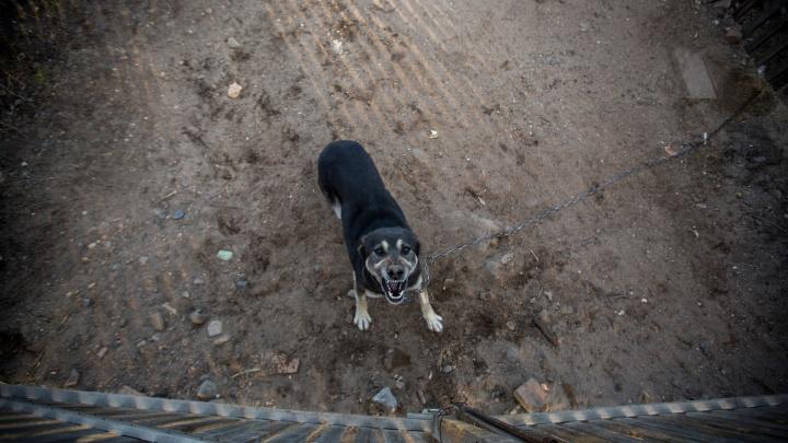 «Эти собачки злобные»: городская служба отлова животных начала раздавать цепных псов
