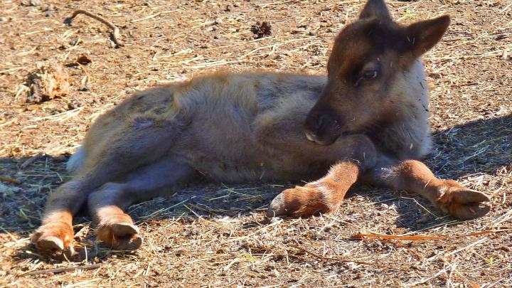 В Большереченском зоопарке родился маленький северный олень