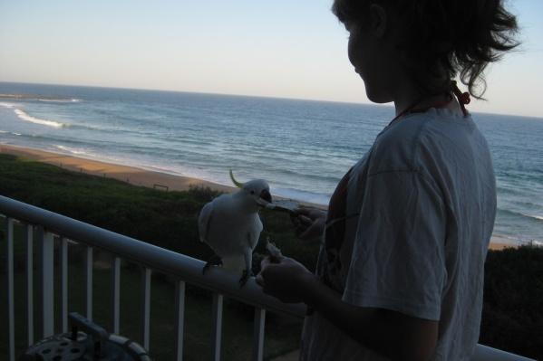 Попугаи в Австралии такое же обычное животное, как у нас голубь