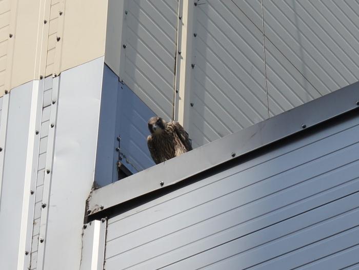 Птенец сапсана спланировал на крышу ТЦ