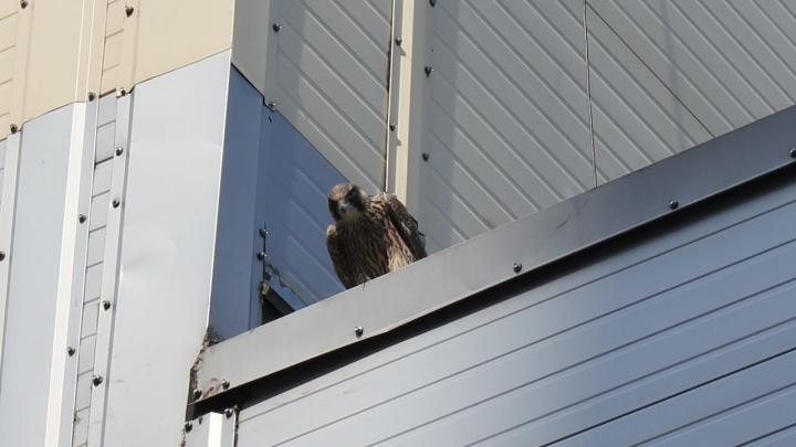 На крыше жилого дома в Советском районе Новосибирска поселилась семья редких птиц