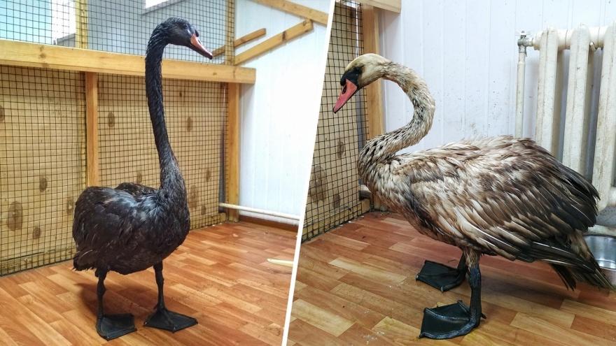 В Самарском зоопарке умер попавший в нефтеловушку лебедь