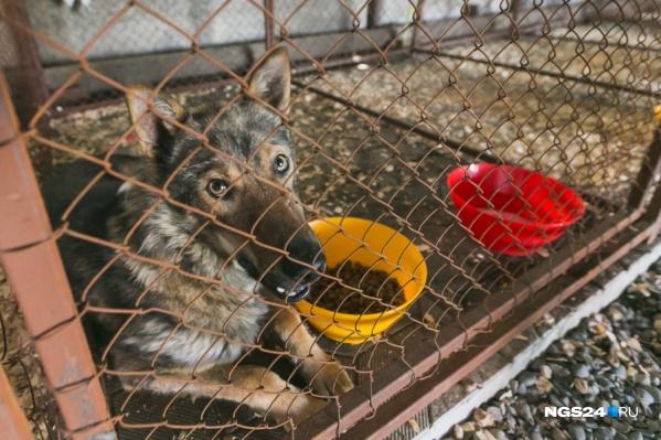 Сфера отлова собак в Красноярске регулярно оказывается в центре скандалов