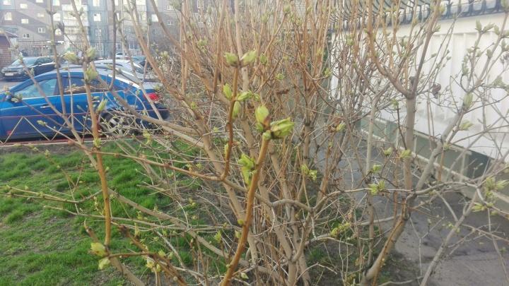 С приходом тепла на деревьях начали появляться первые зеленые листья