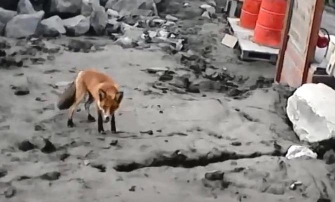 Две любопытные лисы вышли к рабочим в Еруде ради еды