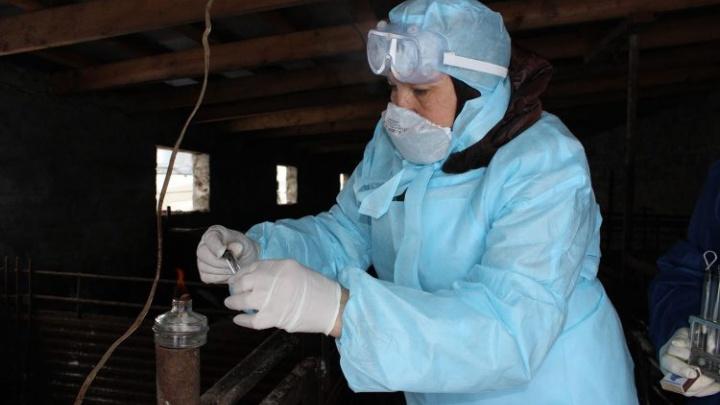 Очаг африканской чумы свиней ликвидировали в Ростовской области