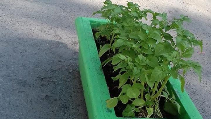 И красиво, и съедобно: на Химмаше в уличных клумбах вырастили картофель