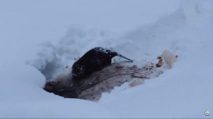 Видео дня. В Керженском заповеднике на видео попал деловой бобр, гуляющий среди сугробов