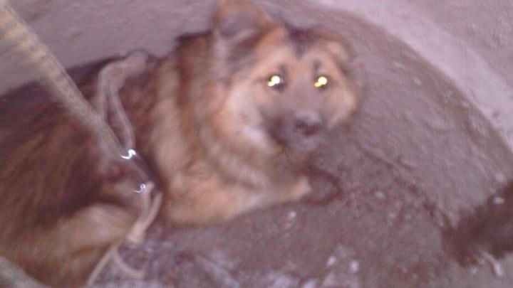 На ВИЗе спасли собаку, которая упала в открытый канализационный люк