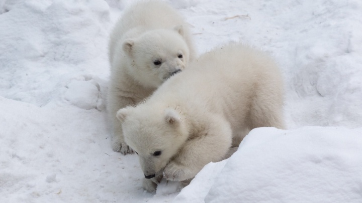 Белая медведица Герда из зоопарка отказалась пускать ветеринаров к детёнышам