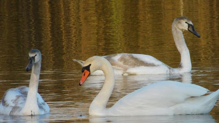 «Для меня они — символ духовной чистоты»: в Волгоградской области запечатлели прекрасных лебедей