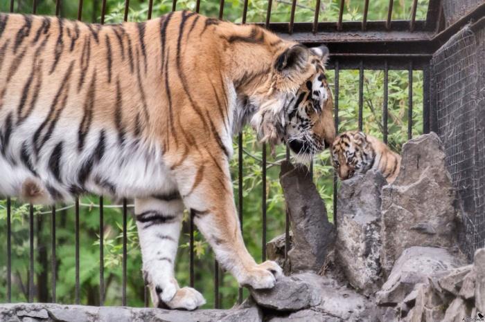 Мама тигрят не позволяет им долго гулять на улице