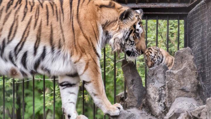 Стало известно, сколько тигрят родилось в Новосибирском зоопарке