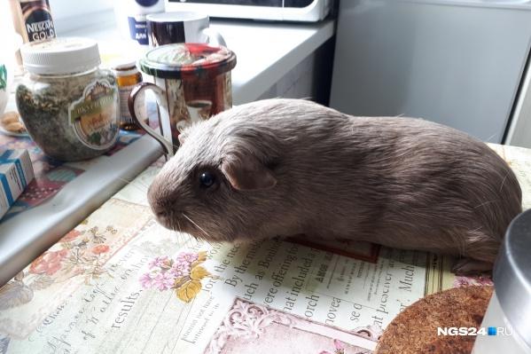 Это другая морская свинка, не Кнопа