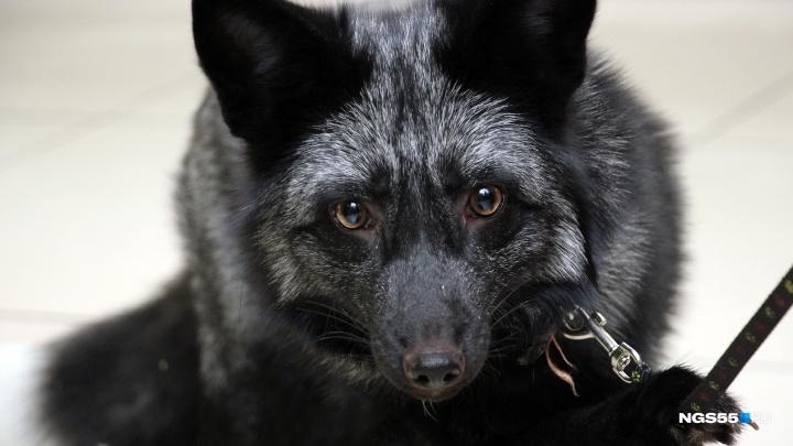 Трусливый Сириус: фоторепортаж о дрессировке чёрно-бурого лисёнка