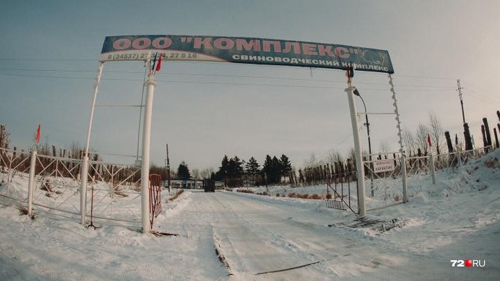 Тюменские власти отсудили у разоренного и закрытого свинокомплекса в Шорохово миллионы за свиную чуму