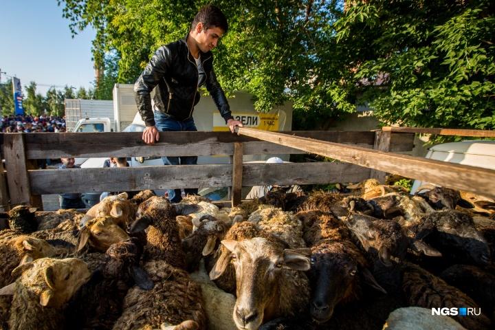 И выбрать себе барана. За кило просят 150 рублей, средний барашек весит 30 килограммов