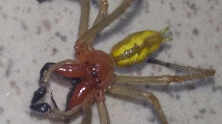 В Башкирии нашли одного из самых ядовитых пауков в Европе