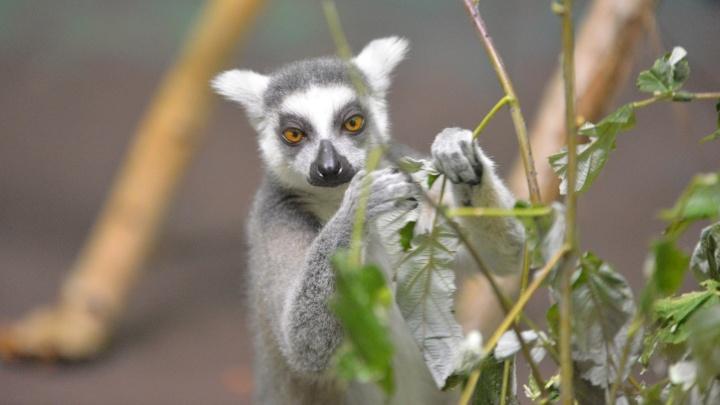 В Екатеринбургский зоопарк к лемуру Альфу привезли четырех самок из Чехии
