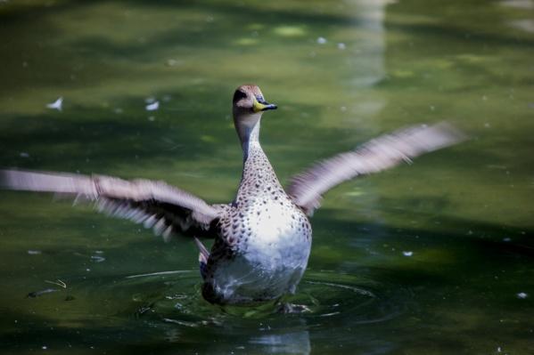 Некоторые виды птиц не могут летать из-за выпавших перьев