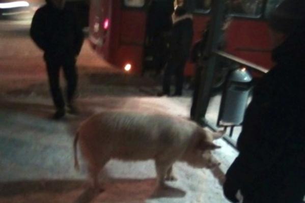 Свинка подбегала к людям