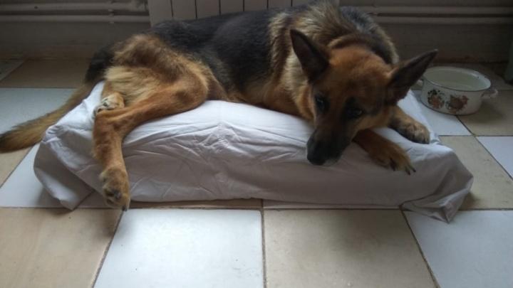 Сибиряки собрали 400 тысяч на операционную для бездомных собак