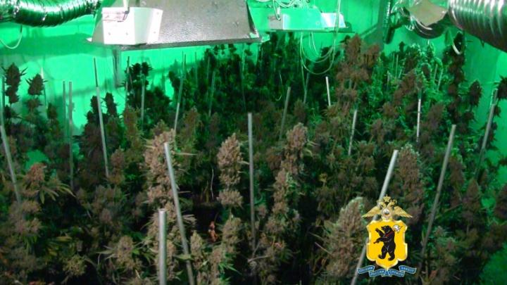 Наркобарон купил в Ярославской области три дома, чтобы выращивать коноплю