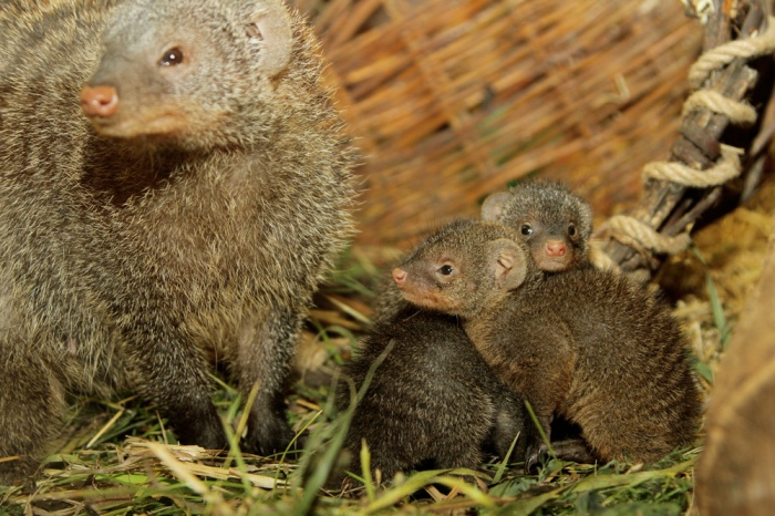 Малышей воспитывает семья из трех мангустов
