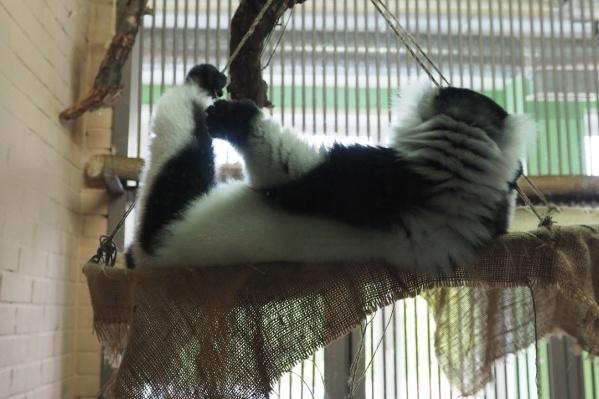 Лемурам очень нравится отдыхать в гамаке