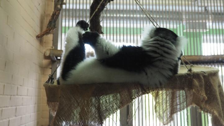 Лемурам в зоопарке сделали гамаки из обручей, где они теперь с наслаждением зависают