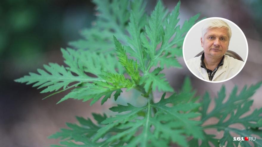 России не будет, а амброзия останется: ростовский аллерголог — о борьбе с растением-паразитом